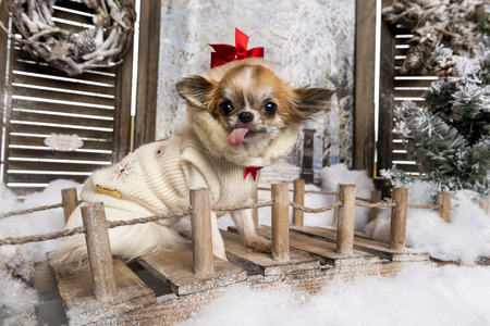 Chihuahua sticking the tongue out, sitting on a bridge in a winter scenery photo