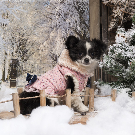 Dressed-up Chihuahua puppy sitting on a bridge in a winter scenery photo