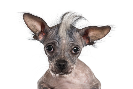 Close-up of a Chinese crested dog looking at the camera, isolated on white photo