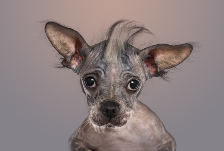 grey background: Close-up of a Chinese crested dog puppy looking at the camera, on gradient grey background