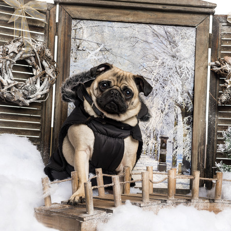 Dressed up Pug sitting on bridge in a winter scenery, looking at the camera, 3 years old photo