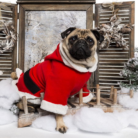 christmas scenery: Pug wearing a christmas suit sitting in a winter scenery, 3 years old