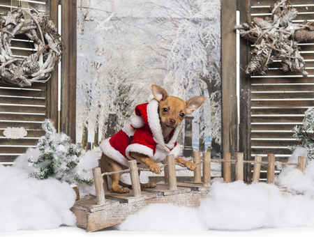 chihuahua 3 months old: Chihuahua puppy wearing a christmas suit in a winter scenery, 3 months old Stock Photo