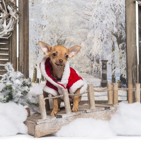 Chihuahua puppy wearing a christmas suit in a winter scenery, 3 months old photo