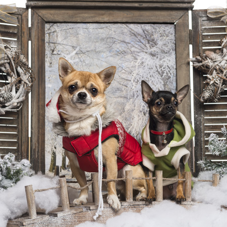 Two dressed-up Chihuahuas on a bridge, in a winter scenery photo