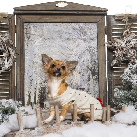 Dressed up Chihuahua looking up, sitting on a bridge in a winter scenery, 1 year old photo