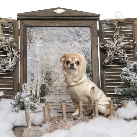 Dressed-up Chihuahua sitting on a bridge in a winter scenery photo