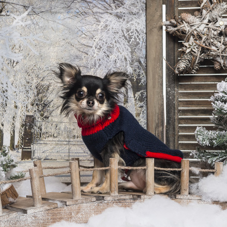 Dressed up Chihuahua sitting on a bridge in a winter scenery photo