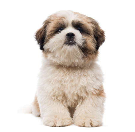 Front view of a Shih Tzu puppy lying, looking at the camera, 5 months old, isolated on white photo