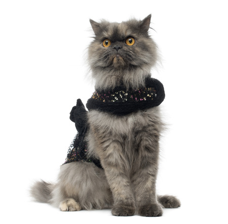 sullenly: Grumpy Persian cat wearing a shiny harness, sitting, isolated on white