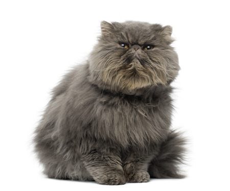 Front view of a grumpy Persian cat, sitting, looking up, isolated on white photo