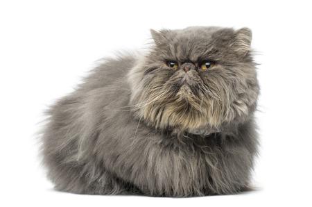 grumpy: Vooraanzicht van een knorrige Perzische kat, het liggen, wegkijken, geïsoleerd op wit