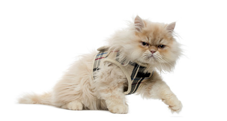 sullenly: Side view of a Persian kitten with tartan harness, walking away, 4 months old, isolated on white Stock Photo