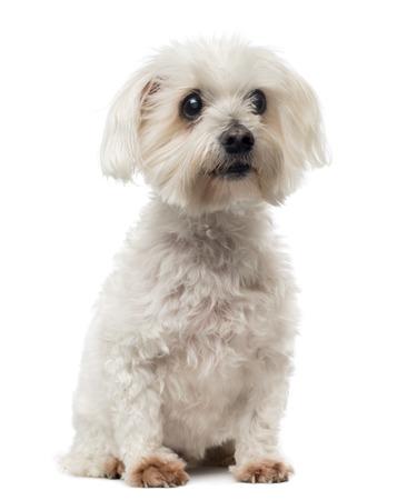 백내장: 백내장 오래 몰타어 개, 흰색에 고립, 15 세를, 앉아 멀리보고