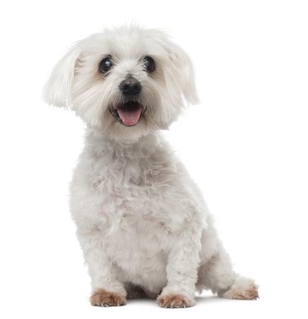 cataract: Old Maltese dog with cataract, sitting, panting, 15 years old, isolated on white Stock Photo