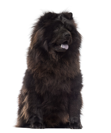 panting: Chow Chow sitting, panting, 3 years old, isolated on white Stock Photo