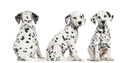 dalmatier: Dalmatische puppies zitten samen in verschillende posities, geïsoleerd op wit Stockfoto