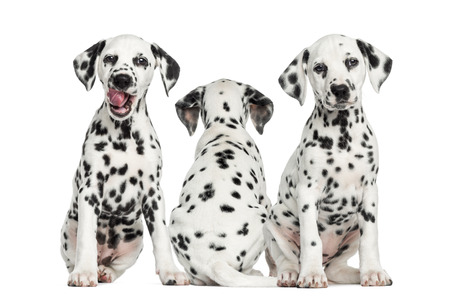 Dalmatian puppies sitting together, isolated on white photo