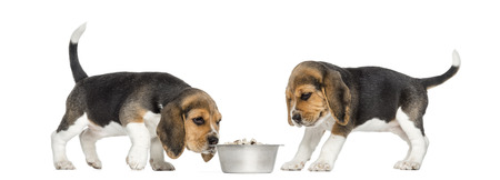 beagle puppy: Beagle puppies around a full dog bowl, isolated on white Stock Photo