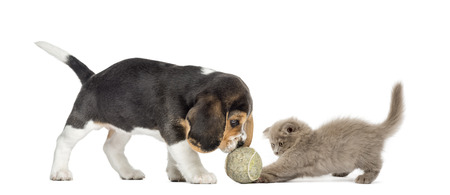 Beagle puppy and Highland fold kitten playing with a ball, isolated on white photo