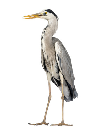 grey heron: Grey Heron standing, beak opened, Ardea Cinerea, 5 years old, isolated on white