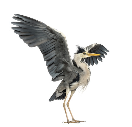 grey heron: Grey Heron doing a mating dance, Ardea Cinerea, 5 years old, isolated on white