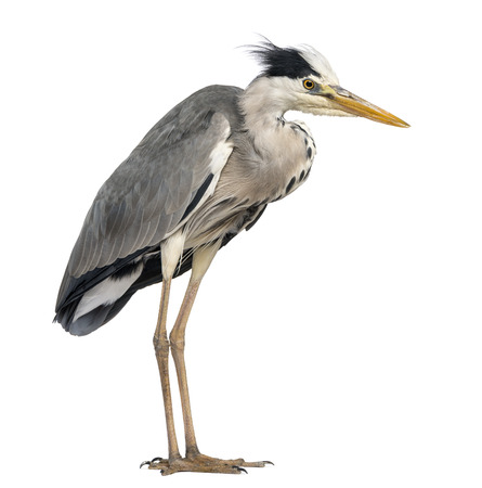 grey heron: Grey Heron standing, Ardea Cinerea, 5 years old, isolated on white Stock Photo