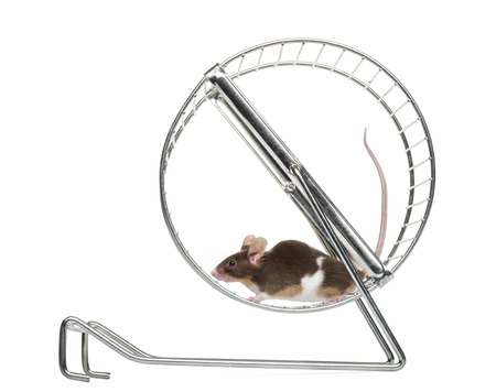 house mouse: Side view of a Common house mouse running in a wheel, Mus musculus, isolated on white Stock Photo