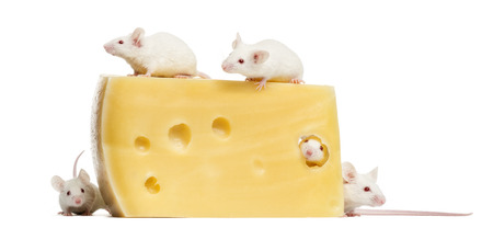 musculus: Group of albino white mice around a big piece of cheese, Mus musculus, isolated on white