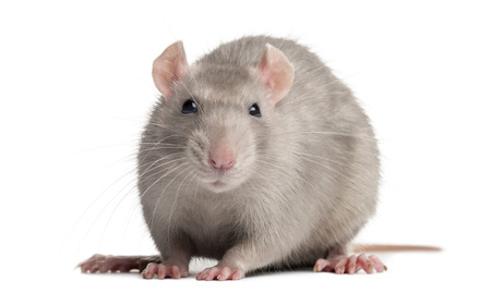 Domestic rat, looking at the camera, isolated on white photo
