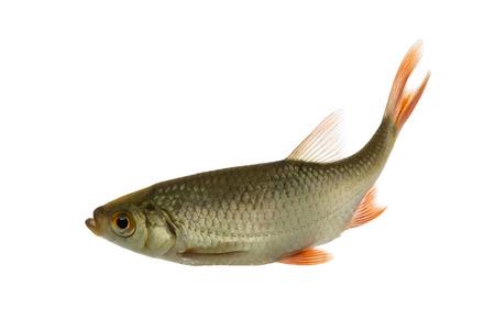 rutilus rutilus: Common roach swimming, Rutilus rutilus, isolated on white