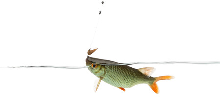 rutilus: Common roach under water caught on a hook, Rutilus rutilus, isolated on white