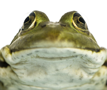 kl: Close-up of an Edible Frog facing, Pelophylax kl. esculentus, isolated on white Stock Photo