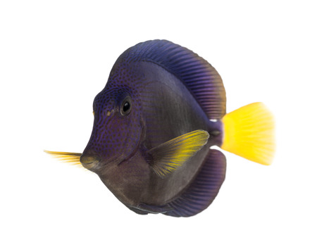 tang: Purple tang, Zebrasoma xanthurum, isolated on white Stock Photo
