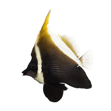 bannerfish: Side view of an Horned Bannerfish, Heniochus varius, isolated on white Stock Photo