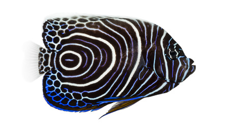 pomacanthus imperator: Side view of an Emperor Angelfish, Pomacanthus imperator, isolated on white
