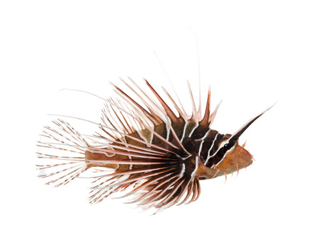 pterois: Side view of a Broadbarred firefish, Pterois antennata, isolated on white Stock Photo