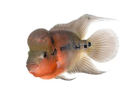 Living Legend, Flowerhorn cichlid, isolated on white photo