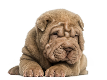 Front view of a Shar Pei puppy lying down, tired, isolated on white