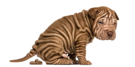 Side view of a Shar Pei puppy defecating, looking at the camera, isolated on white photo