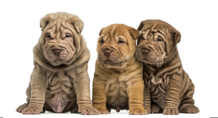 Front view of Shar Pei puppies sitting in a row, isolated on white Stock Photo