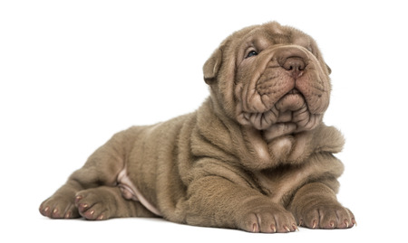 dozing: Shar Pei puppy lying, dozing, isolated on white
