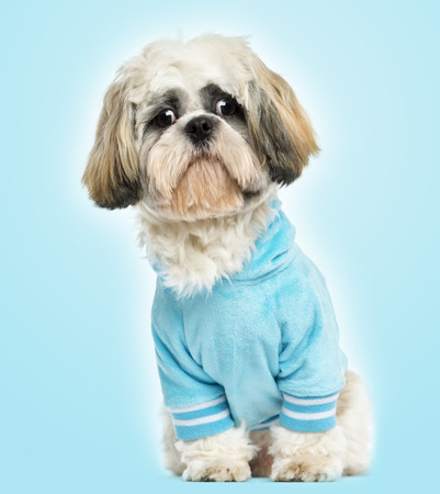 Dressed-up Shih tzu sitting, looking sad, 10 months old, on blue  photo