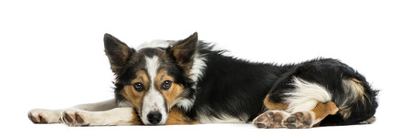 border collie: Border collie lying down, looking at the camera, isolated on white Stock Photo