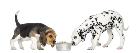 croquettes: Beagle and Dalmatian puppies sniffing a bowl full of croquettes, isolated on white