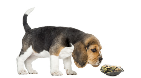 croquettes: Side view of a Beagle puppy sniffing a turtle lying on its back, isolated on white
