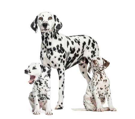 Dalmatian: Dalmatian mom and puppies, isolated on white