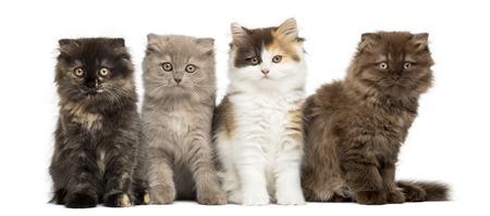 Higland gerade und falten Kätzchen sitzen in einer Reihe, schaut in die Kamera, isoliert auf weiß