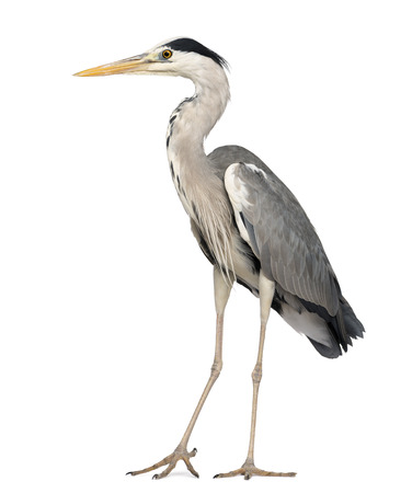 bird view: Grey Heron standing, Ardea Cinerea, 5 years old, isolated on white Stock Photo