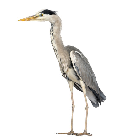 ardea cinerea: Side view of an Grey Heron standing, Ardea Cinerea, 5 years old, isolated on white